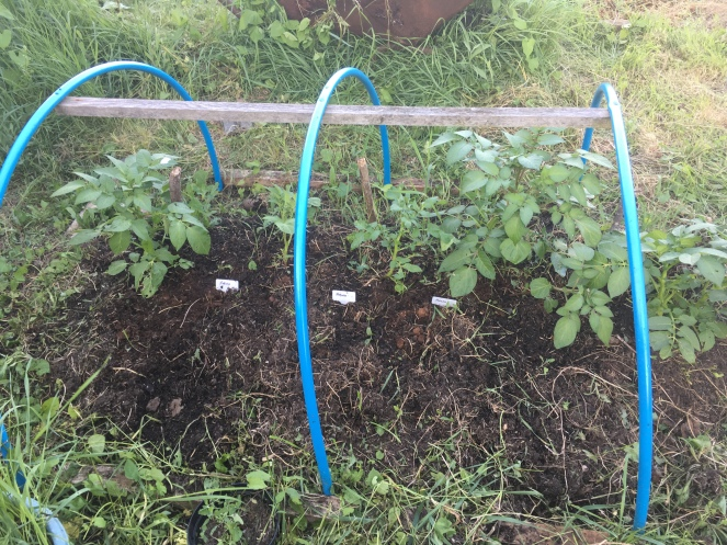 Potato plant gardening allotment