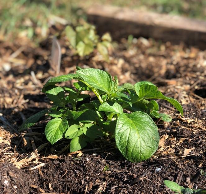 victory garden potato plant