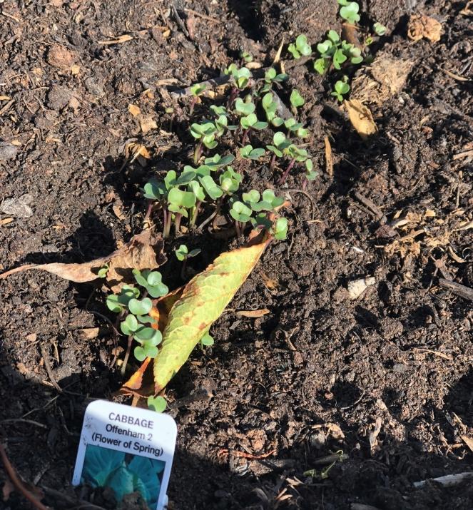 victory garden cabbage